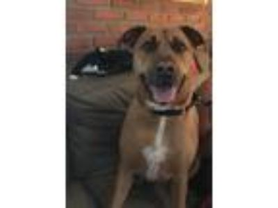 Adopt Gizmo a Tan/Yellow/Fawn Labrador Retriever / Mastiff / Mixed dog in