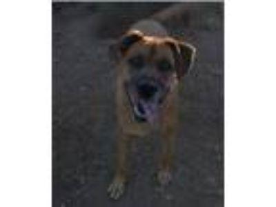 Adopt Bodie a Boxer, Labrador Retriever