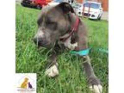 Adopt June a Gray/Silver/Salt & Pepper - with White Pit Bull Terrier / Mixed dog