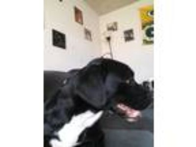 Adopt Midna a Black - with White Border Collie / Labrador Retriever dog in West