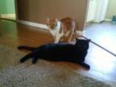 Adopt Bluejeans a Orange or Red Tabby Domestic Shorthair / Mixed (short coat)