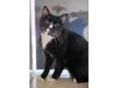 Adopt JIM MORRISON a Black & White or Tuxedo Domestic Shorthair / Mixed (short