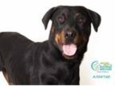 Adopt Q a Black - with Brown, Red, Golden, Orange or Chestnut Doberman Pinscher