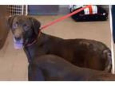 Adopt 41909059 a Brown/Chocolate Labrador Retriever / Mixed dog in Mesquite