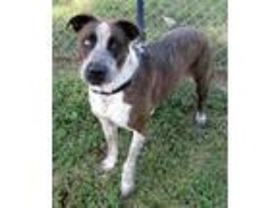 Adopt Brandi a Brown/Chocolate - with White Catahoula Leopard Dog / Mixed dog in