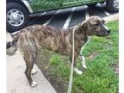 Adopt Jewel a Mountain Cur / Mixed dog in Charlottesville, VA (25309892)