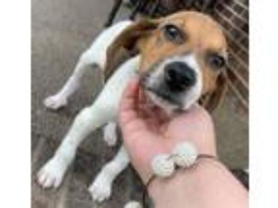 Adopt Snoopy a White - with Brown or Chocolate Beagle / Mixed dog in London