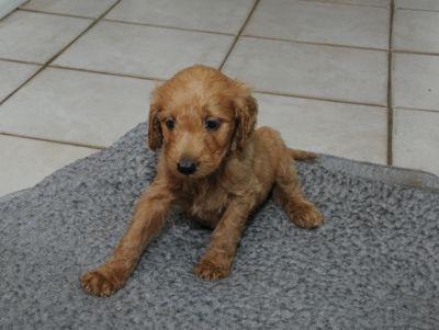 Goldendoodle PUPPY FOR SALE ADN-96475 - Goldendoodle Puppies Ready for their Forever Homes