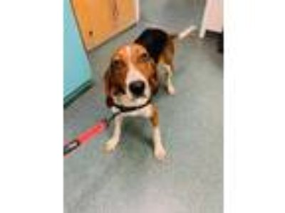 Adopt Hazel a Brown/Chocolate Hound (Unknown Type) / Mixed dog in Clearwater