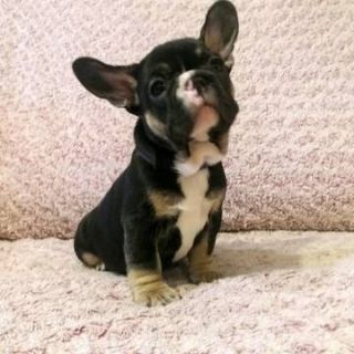 French Bulldog PUPPY FOR SALE ADN-79251 - Black and Tan Frenchie