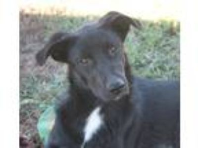 Adopt Salem a Black - with White Collie / Shepherd (Unknown Type) / Mixed dog in