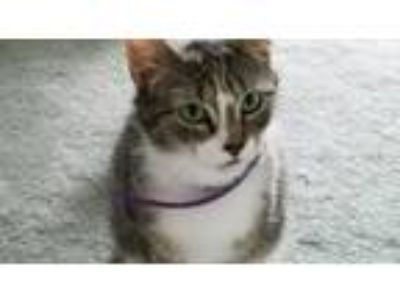 Adopt Girlie, lap cat, affectionate a Brown or Chocolate (Mostly) Domestic