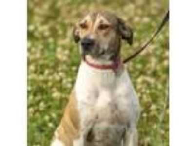 Adopt Sadie a Tan/Yellow/Fawn - with White Hound (Unknown Type) / Mixed dog in