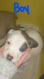 American Pit Bull Terrier PUPPY FOR SALE ADN-65462 - 3 pit bull puppies