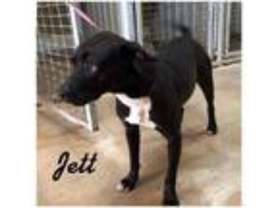 Adopt Jett a Black - with White American Staffordshire Terrier dog in La Crosse