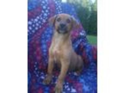 Adopt Lizzy a Brown/Chocolate - with Tan Shepherd (Unknown Type) / Mixed dog in