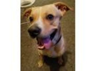 Adopt Roscoe a Tan/Yellow/Fawn Labrador Retriever / Pit Bull Terrier / Mixed dog