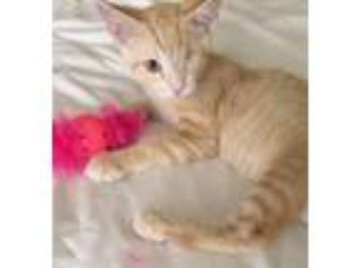 Adopt Willy a Tabby