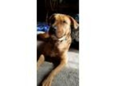 Adopt Brownie a Red/Golden/Orange/Chestnut - with White Shar Pei / Labrador