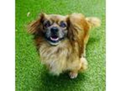 Adopt Pierre a Tibetan Spaniel / Welsh Corgi dog in Culver City, CA (25560015)