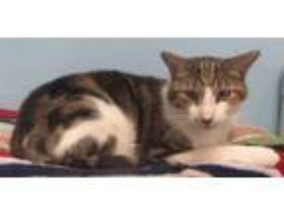 Adopt Gato a American Shorthair