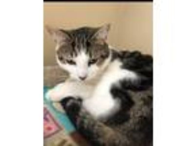 Adopt Pete a Domestic Short Hair