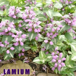 LAMIUM Flowering Groundcover for Shade
