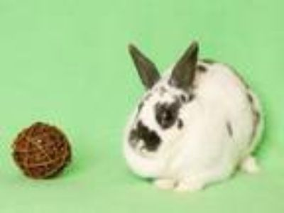 Adopt Charlotte a Bunny Rabbit