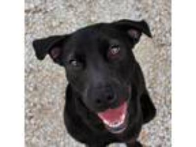 Adopt Rachel a Labrador Retriever, Mixed Breed