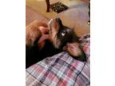 Adopt Dolly a Terrier, Yorkshire Terrier