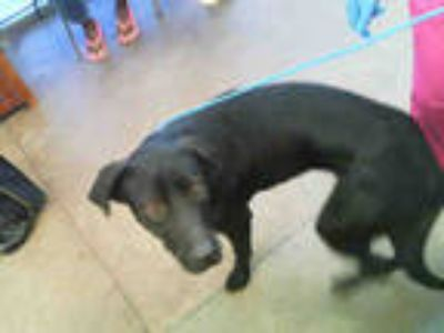 Adopt LUNA a Black - with White Labrador Retriever / Mixed dog in Dallas