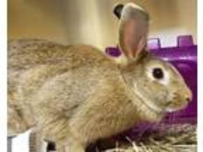 Adopt Gwendolyn a Chocolate Other/Unknown / Other/Unknown / Mixed rabbit in