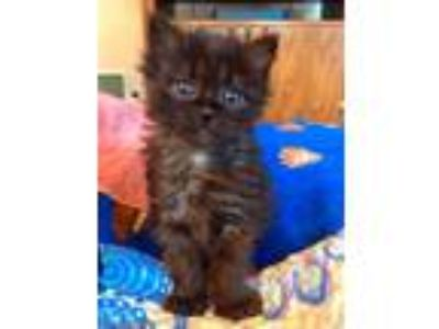 Adopt Maura a Domestic Medium Hair