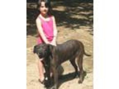 Adopt Brindle Pop a Plott Hound