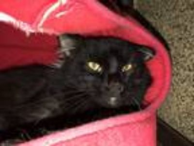 Adopt Sparrow a All Black Domestic Shorthair / Mixed cat in Merriam