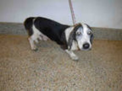 Adopt BEN a White - with Black Basset Hound / Mixed dog in Doral, FL (25554126)