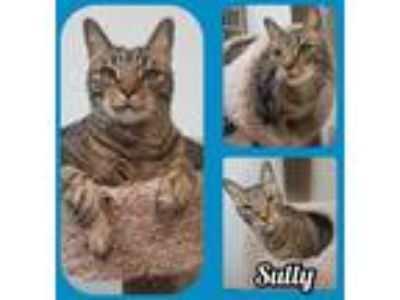 Adopt Sully a Domestic Short Hair