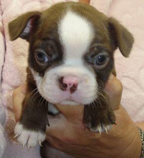 Boston Terrier PUPPY FOR SALE ADN-104325 - Boston Terrier Puppies