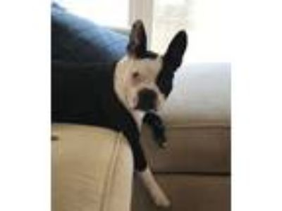 Adopt Tank Austin SC a Black - with White Boston Terrier / Mixed dog in