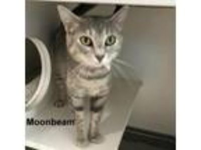 Adopt Moonbeam a Gray or Blue Domestic Shorthair cat in Madisonville