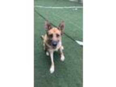 Adopt Gypsy a Tan/Yellow/Fawn - with Black German Shepherd Dog / Mixed dog in