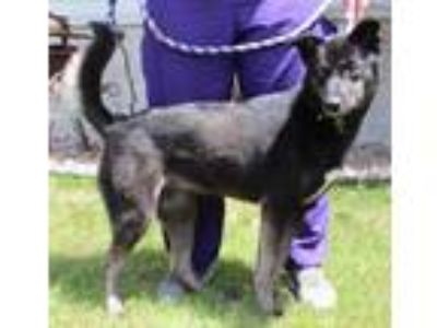 Adopt Quinta a Black Husky / German Shepherd Dog / Mixed dog in Portage