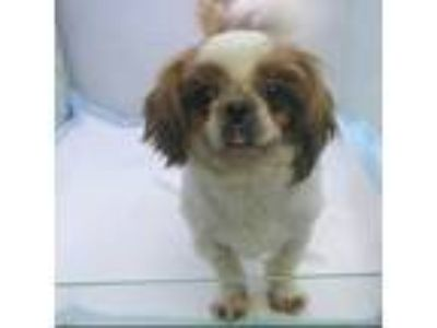 Adopt Smiley a Brown/Chocolate - with White Pekingese / Shih Tzu / Mixed dog in