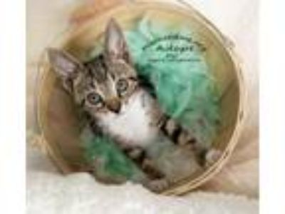 Adopt Cody the Kitten a Domestic Short Hair