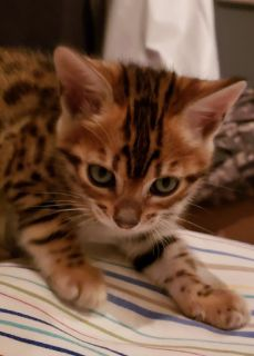 Female Bengal Kitten 700