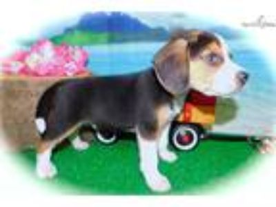 Chicago Beagle. Prespoiled. Great 4 KIDS!