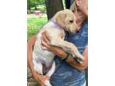 Adopt Sadie - LOVES water, fun friendly lab mix puppy a Labrador Retriever