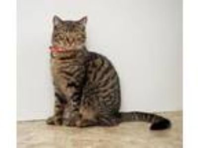 Adopt Tucker a Domestic Short Hair