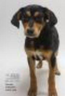 Rooster Beagle Dog