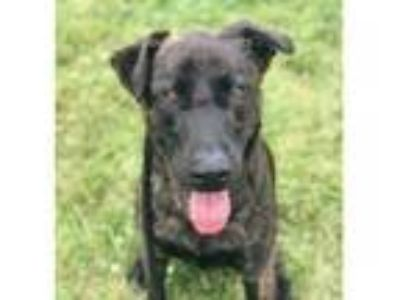 Adopt DANIELS a Labrador Retriever, Mixed Breed